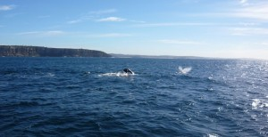 whale_watching_sydney_1